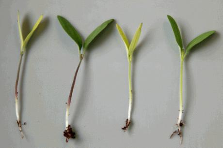 Agro-industriële veredelingstechnieken, een natuurlijke evolutie?